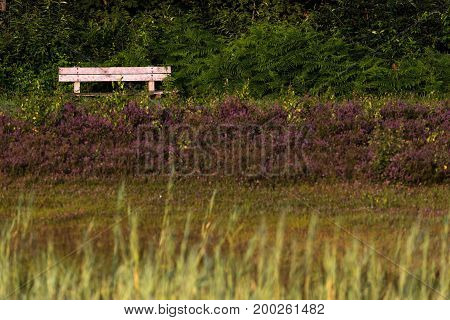 Wooden Bench Between Ferns In Heather Landscape Lit By Morning Sun.