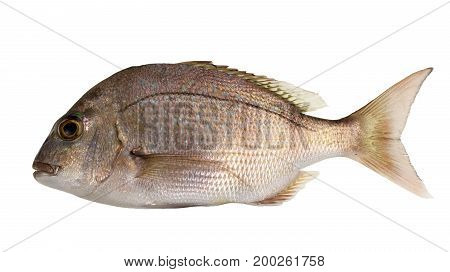 Juvenile snapper (Chrysophrys auratus) shows a red-brown head and upper body numerous small bright blue spots in the upper sides and red or faint red fins