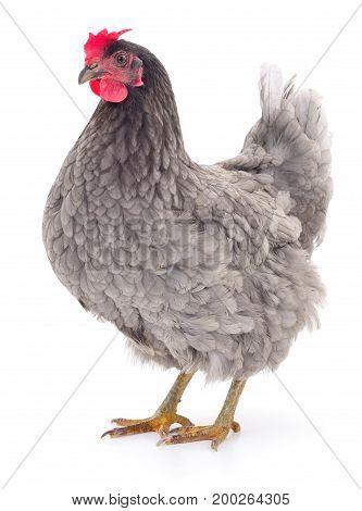 Grey hen isolated on white studio shot.