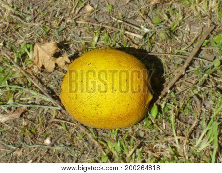 Lemon lying on the soil. Citric fruit