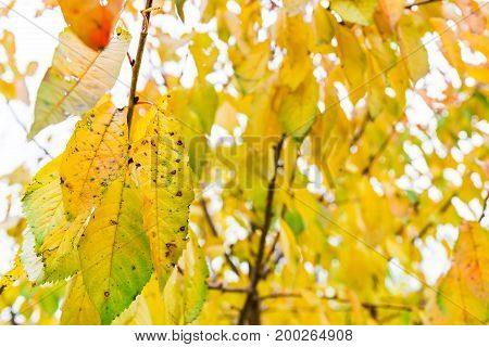 Autumn yellow and red leaves on a tree