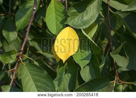 Yellow leaf among green leaves on a tree