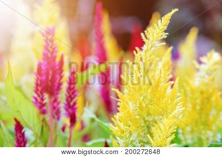 Beautiful yellow flower of Celosia Argentea Cockscomb or Wool flower in the garden Amidst warm sunlight morning early winter of Thailand