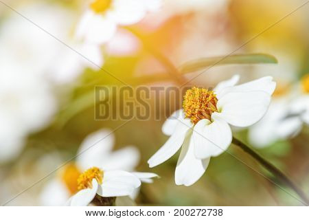 Beautiful white flowers under the evening sunlight of Zinnia Angustifolia Narrowleaf Zinnia or Classic Zinnia in the garden