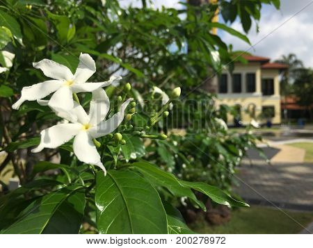White flower with Colonial building, former Sultan Palace, Malay heritage centre in background in Singapore
