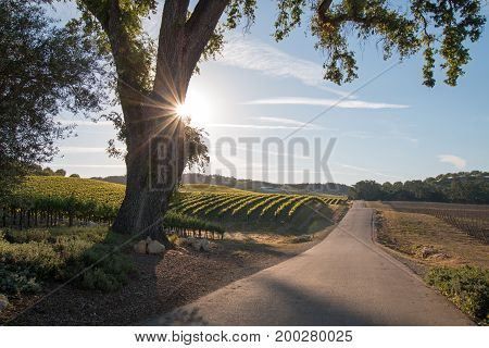 California Valley Oak Tree With Early Morning Sun Rays In Paso Robles Wine Country In Central Califo
