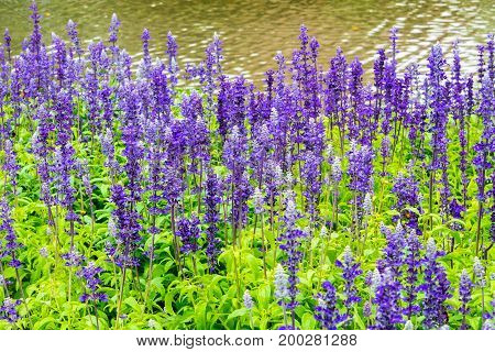 Flower Bed Of Blue Salvia, Small Blue Flowers