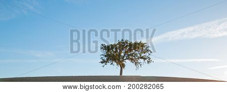 California Valley Oak Tree In Plowed Fields Under Clear Blue Skies In Paso Robles Wine Country In Ce
