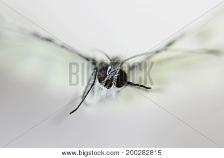 Dead insect white butterfly Pieridae close-up, Faceted eyes on white background