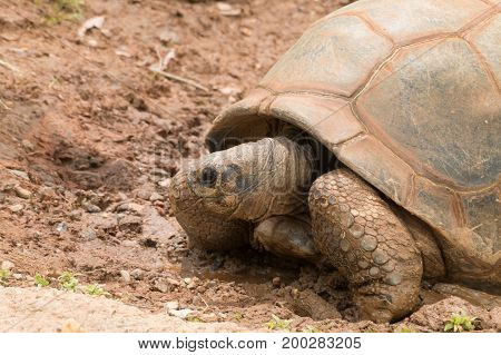 A giant turtle, tortoise sitting in mud.