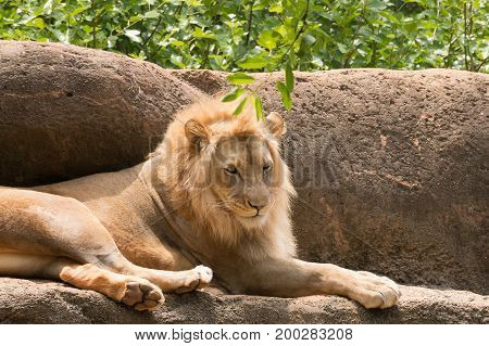 Leo the lion sitting on a rock.