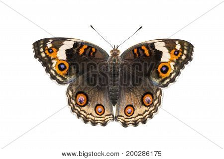 Isolated Dorsal View Of Female Blue Pansy Butterfly ( Junonia Orithya Linnaeus )