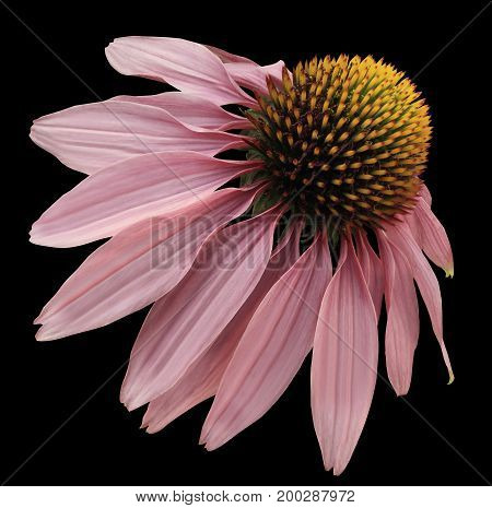Flower pink Chamomile on black isolated background with clipping path. Daisy pink-yellow for design. Closeup no shadows. Nature.