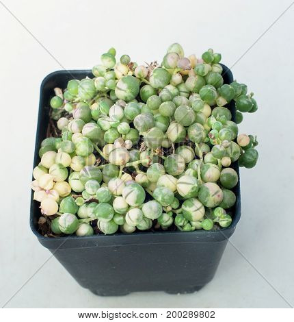 A photo of variegated string of pearls succulent