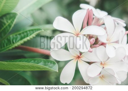 White frangipani flowers daisy spa flowers in the nature garden vintage style