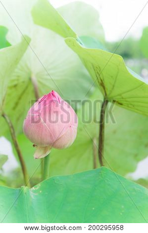 lotus flowers or waterlilly flowers in the pond nature on the holy day with filter white vintage