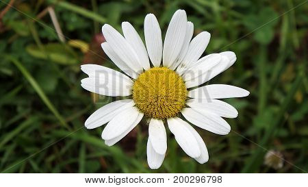 Beautiful yellow and white Marguerite , ox-eye-daisy ,(Leucanthemum vulgare)