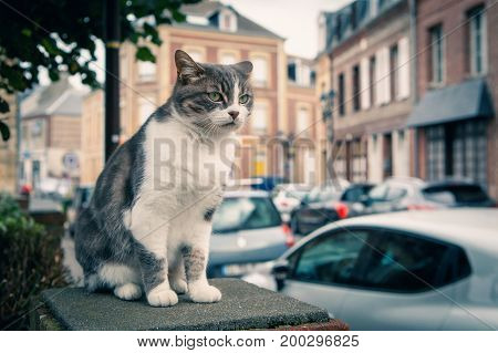 Pet cat walking on the streets of a European town idly watching the bustling world