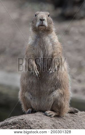 close up portrait of a black tailed prairie dog standing upright and facing directly forward at the viewer