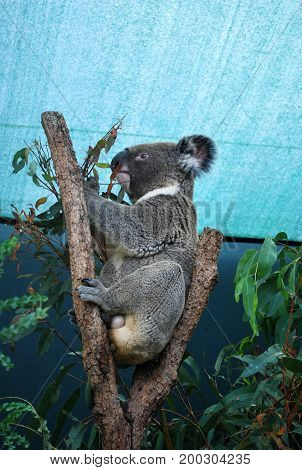 Profile of fluffy Koala eating eucalyptus on a tree under the roof