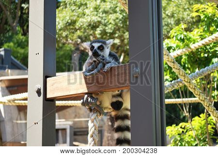 Ring-tailed lemur bachelor showing skepticism on a sunny day in Taronga zoo