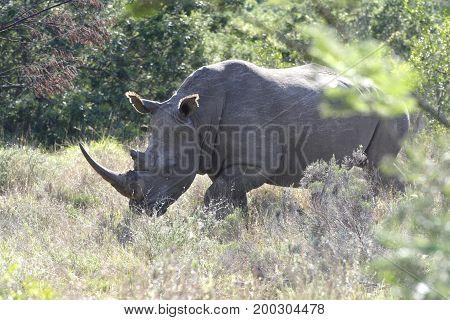 White Rhino, South Africa
