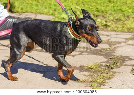 Doberman Pinscher dog close-up. Background of green blurred grass. Space under the text. 2018 year of the dog in the eastern calendar. Concept: parodist dogs, dog friend of man, true friends, rescuers.