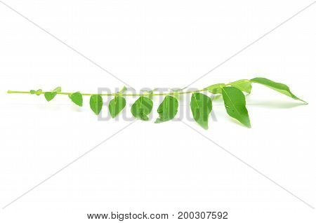 Bunch Of Curry Leaves