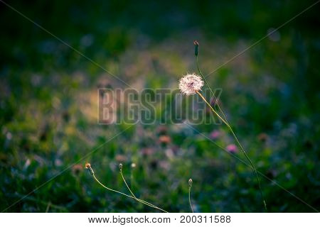 fluffy dandelion flower on a thin long stalk in the middle of the blurred background of green grass