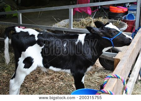Young Calf Tied to a Fence at the County Fair