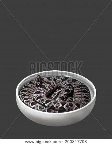 Amazon Tree Boa Coiled in White Bowl Isolated on Gray Background Clipping Path