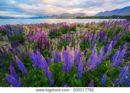 Lake Tekapo Lupin Field Focus Blended