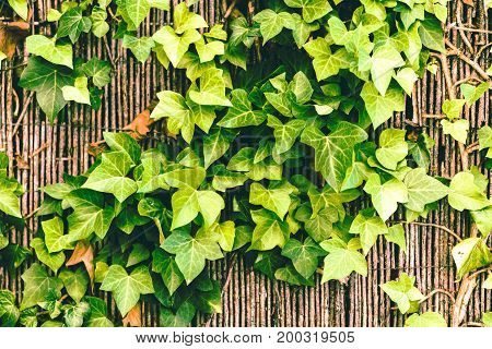 Ivy green leaves texture wall background pattern