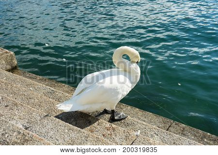 swan sitting on stairs next to a lake cleaning himself at daytime
