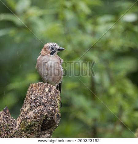 Beautiful Jay Bird Garrulus Glandarius On Tree Stump In Forest Landscape Setting