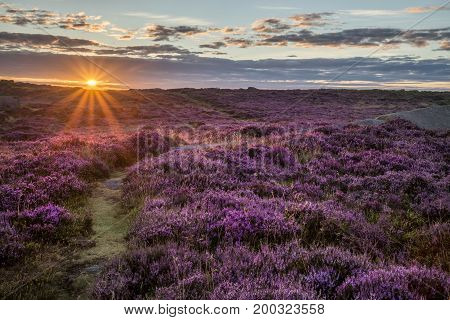 Stunning Dawn Sunrise Landscape Image Of Heather On Higger Tor In Summer In Peak District England