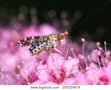 Marsh horn fly insect on pink flower macro