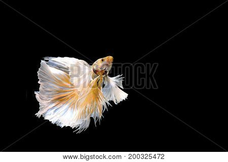 Golden Betta Siamese fighting fish Betta splendens Pla-kad ( biting fish ) of Thailand swimming motion on black isolated background Animal and Aquamarine concept