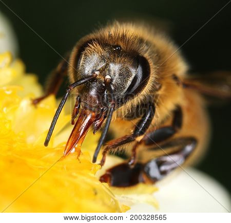 Bee collecting nectar in yellow flower macro close-up