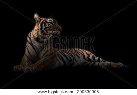 Female Bengal Tiger In The Dark