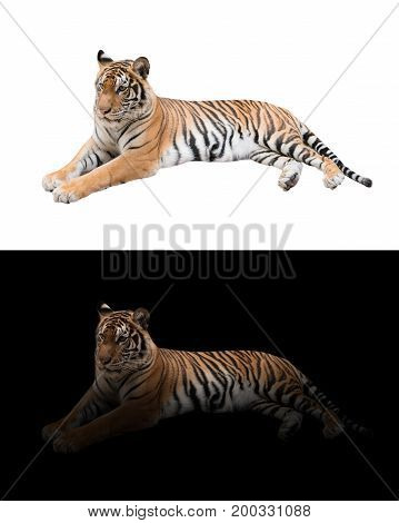 Bengal Tiger In The Dark And White Background