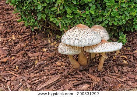 Reddening Lepiota - Mushrooms Growing In Mulch Garden