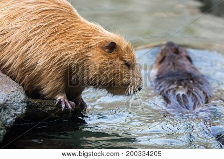Pair of nutrias (Myocastor coypus) also called beaver rats sitting and swimming in water