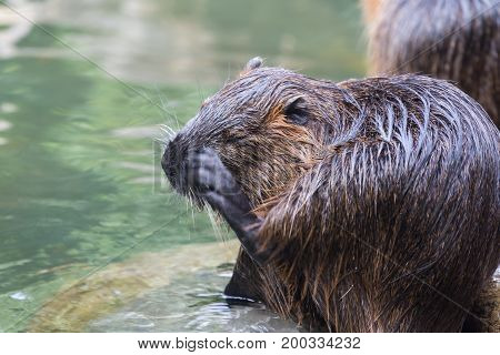 Nutria(Myocastor coypus) also called beaver rat scratching face at waterside