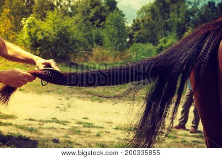 Person Hand Brushing Horse Hair On Tail