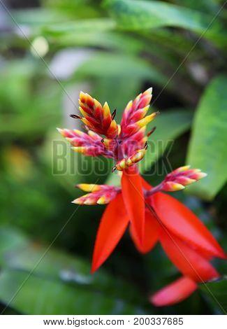 Heliconia exotic flower in Phuket botanic garden