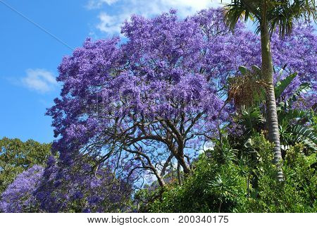 Vibrantly purple Jacaranda tree in peak bloom