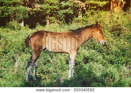 Young Foal Of A Dark Brown Color Is Grazed