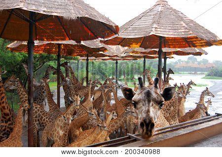 Bangkok, Thailand- September 2013: The cutest giraffes during safari