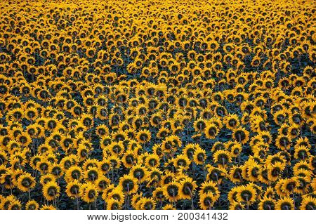 Agriculture Field Of Sunflowers Background